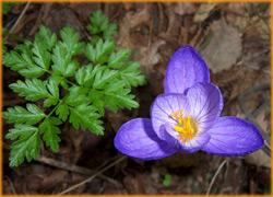Крокус в Крымских горах, прикосновение весны.