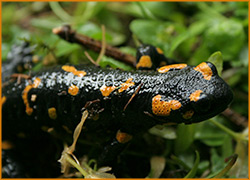 В Карпатах повсюду встречается саламандра пятнистая.