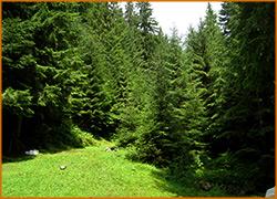 Хвойный воздух Карпатского леса полезен для здоровья.