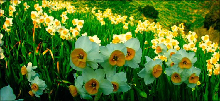 долина нарциссов ранней весной